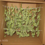 Marijuana drying rules