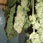 basic drying rules marijuana indoor