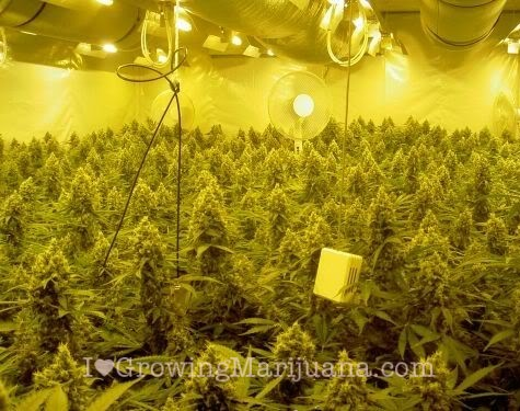 The best marijuana grow lights for Cannabis plantation interieur