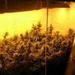 Cannabis indica grow room