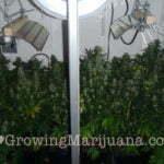 Cannabis Ruderalis growing