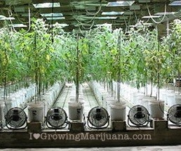 Size grow room seeds or clones cannabis