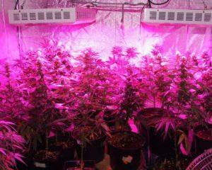 Led cannabis grow lights