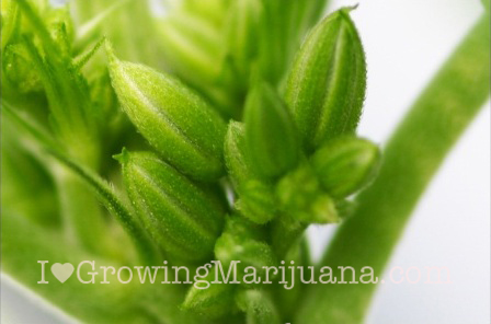 how to tell female plant from male weed