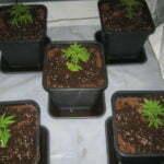 indoor growing cannabis