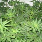 Cannabis grow 18 hours light