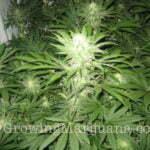 cannabis flower 12 hours light