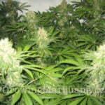 cannabis light grow