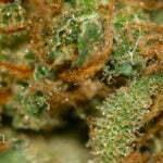 marijuana harvest how to see