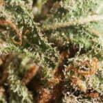 marijuana indoor cultivation harvest