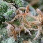 marijuana growing harvest pistils