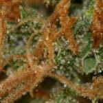 marijuana know when harvest