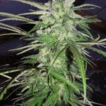 sinsemilla marijuana
