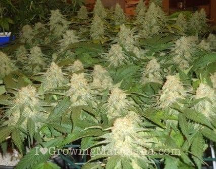 Seeds Or Clones How To Start My Indoor Marijuana Grow