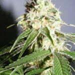 marijuana growing harvest