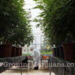 medical highless marijuana