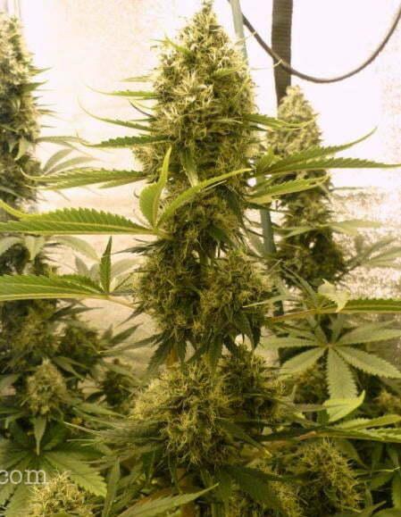 Best Grow Lights For Indoor Marijuana Growing