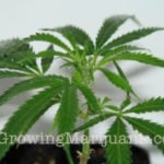 Marijuana organic fertilizers