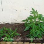 Hide cannabis growing outdoor
