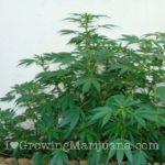 Hide marijuana growing outdoor
