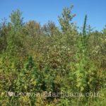Hide outdoor cannabis plants