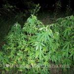 Hide outdoor marijuana plants