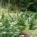 Hide outdoor weed plants