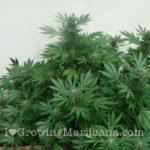 Hide weed growing outdoor