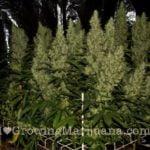 how many ounces does a marijuana plant yield?