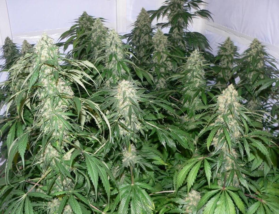 Full-Grown Weed Plant