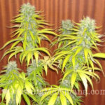 mature-marijuana-flowers-10