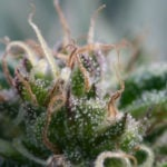 mature-marijuana-flowers-13