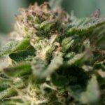 mature-marijuana-flowers-15