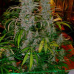 mature-marijuana-flowers-16