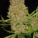 mature-marijuana-flowers-8