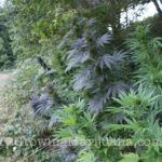 Plant guide weed growing