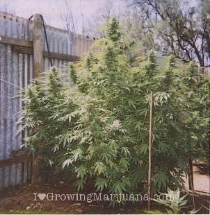 Best soil mixture for outdoor marijuana plants for Cannabis exterieur
