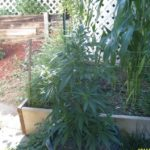 thc level outdoor cannabis