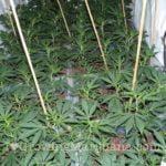 Power plant weed indoor