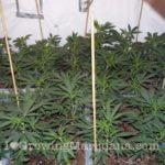 Power plant high yield cannabis