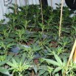 Power plant high yield marijuana