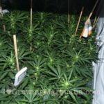 Power plant legal cannabis