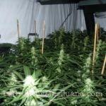 Power plant marijuana seeds