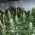 Medical power plant cannabis