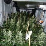 Medical power plant marijuana