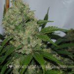 What is power plant marijuana