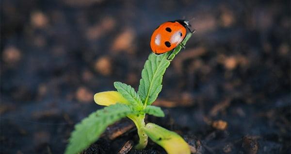 Ladybug for weed plants