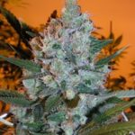 Big bud cannabis picture