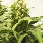 Big bud marijuana picture