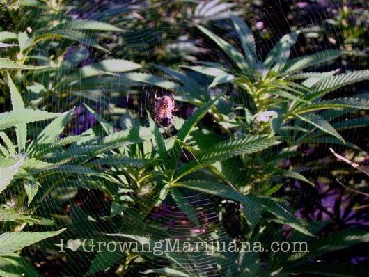 how to kill bugs on marijuana plants
